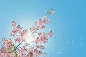 picture_of_sakura