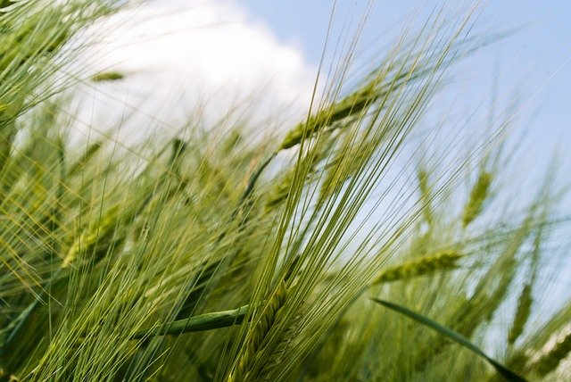 picture_of_rice